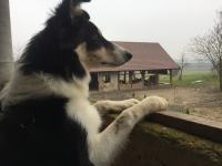 Border collie spreman za parenje
