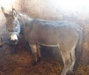 ebanovina velika crna magarca