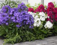 Phlox mix / Sjeme