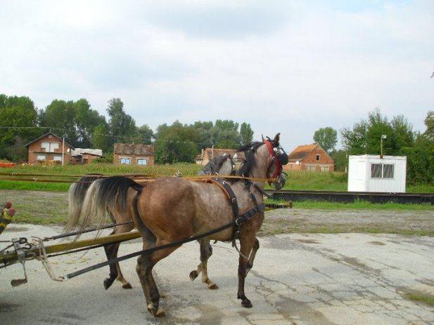 Arapski konji na prodaju
