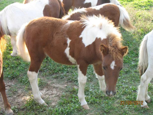 Poni konji odrasli i ždrebad na prodaju, visina 80-100 cm, kobile i