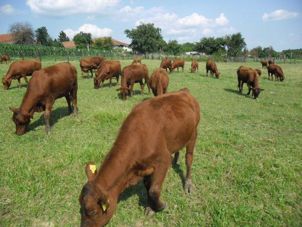 Red Angus – krave