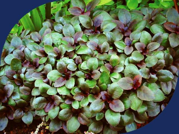 Akvarijske Biljke Lobelia Cardinalis Small Form