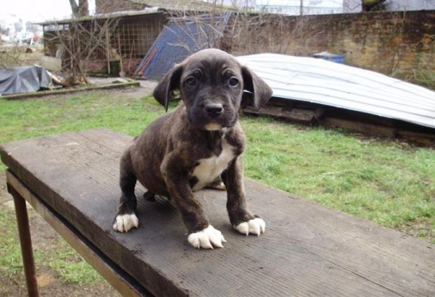 cane corso dogo argentino mix for sale