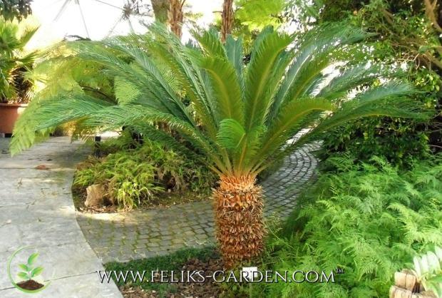 cikas palma cycas revoluta 5 sjemenki feliks garden. Black Bedroom Furniture Sets. Home Design Ideas