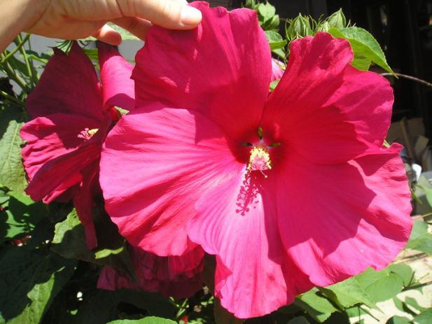 Močvarni hibiskus - ovogodišnje sadnice