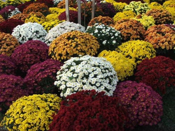 Multiflora - Lončanice, krizanteme, špine