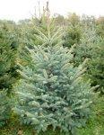 prodajem božična drvca normandine isrebrene  SMREKE PUNGENS prodajem