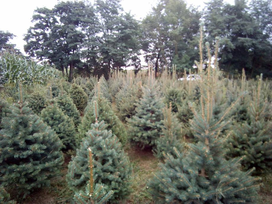 Božićna drvca u tegli ( Picea pungens-srebrna smreka)