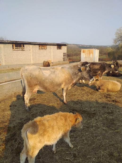 Prodajem gospodarski objekat štalu 760 m2  sa oko 50 krava