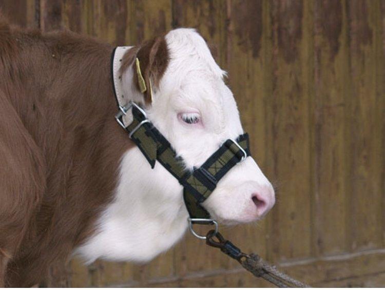 Ular od gurtne za kravu i junad - DOSTAVA NA VAŠU ADRESU