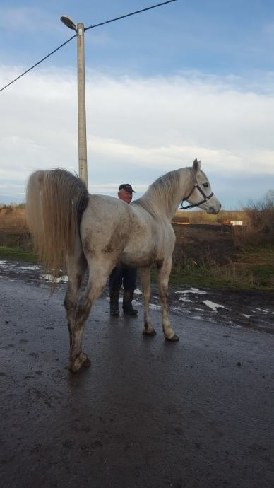 Arapski konj kastrat
