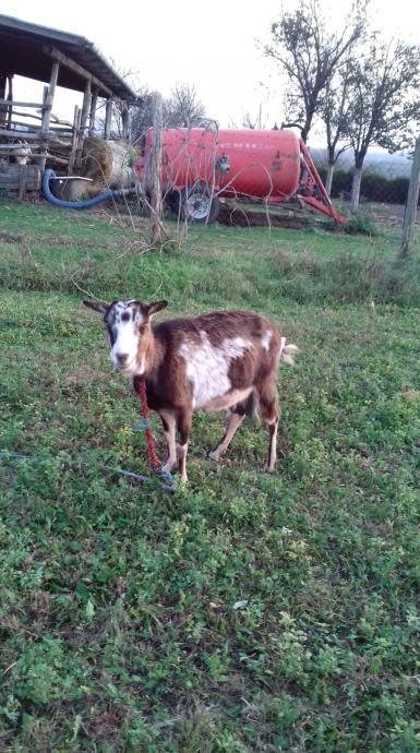 AKCIJA!!!! Jarac i koze