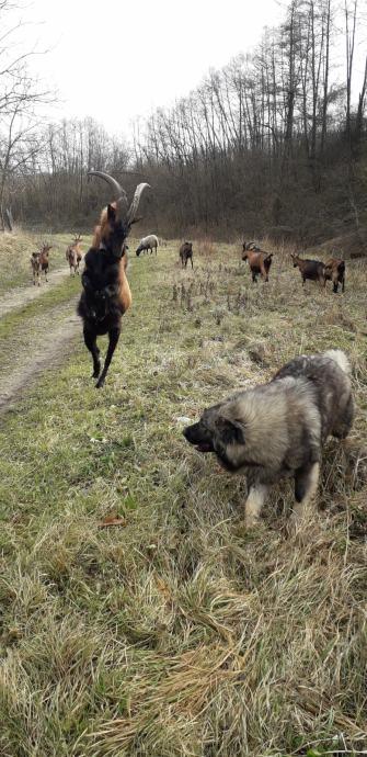 Koze alpina