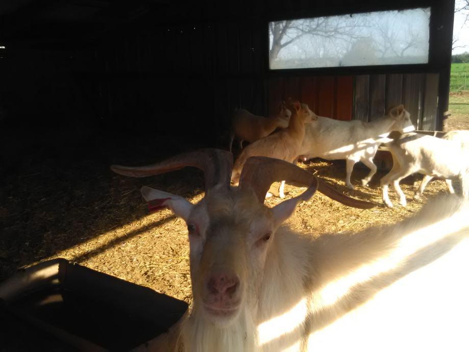 Koze I jarac