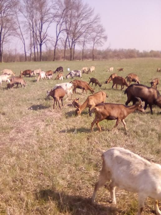 Prodaje se 5 bređih koza(1-5g),kozu s ž.jarićem i 3 jarića