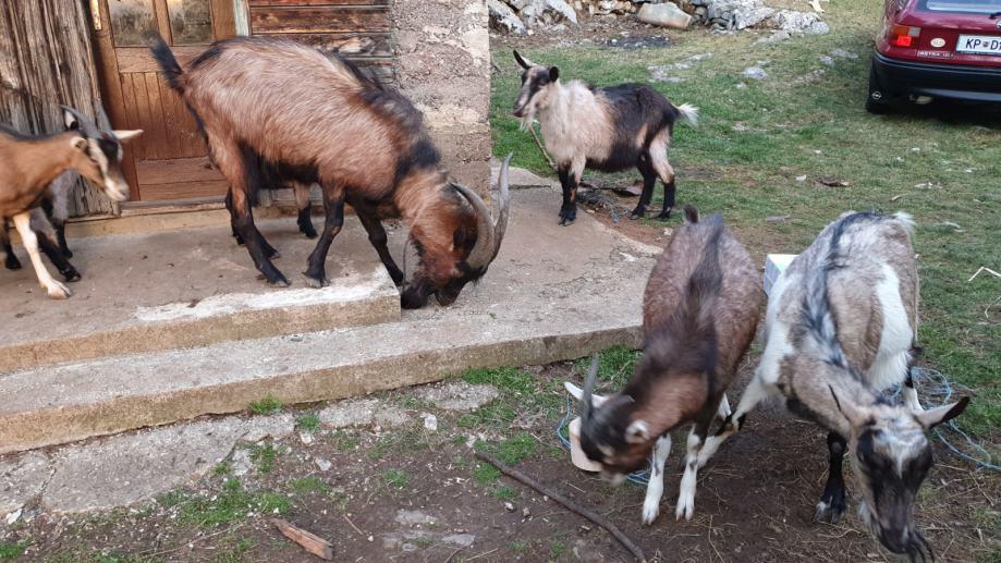 Prodajem Kozlice i Jarca i koze