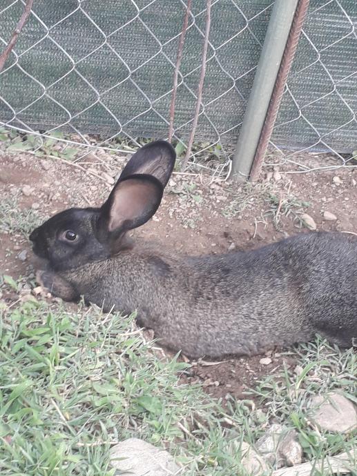 Kunići Mali/Odrasli