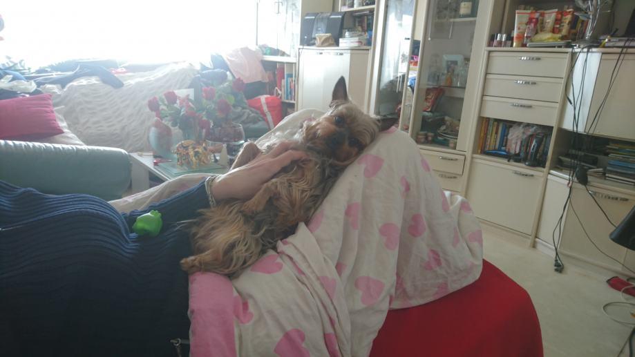 Yorkshire terrier, cura za parenje