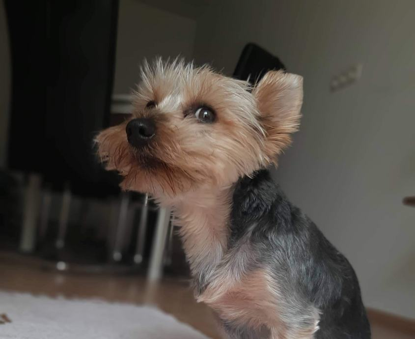 Yorkshire terrier MINI za parenje