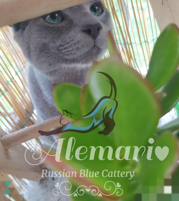 Ruska plava mačka s rodovnicom