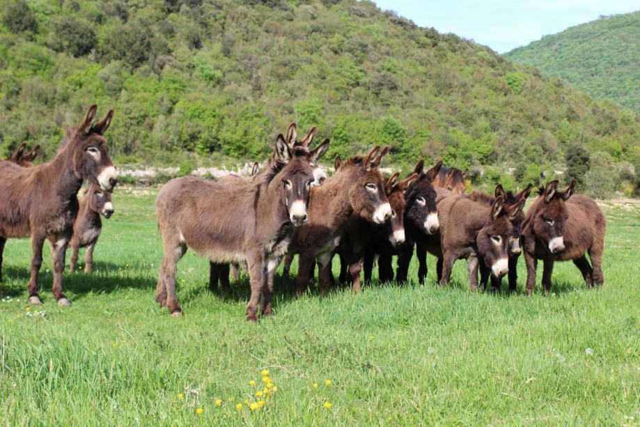 velika crna magarca
