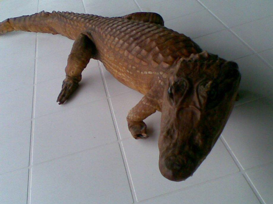 preparirani krokodil aligator preparirani 105 cm
