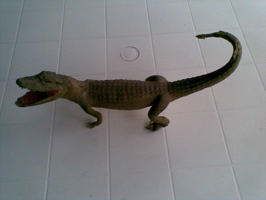 krokodil aligator krokodil  preparirani 60 cm