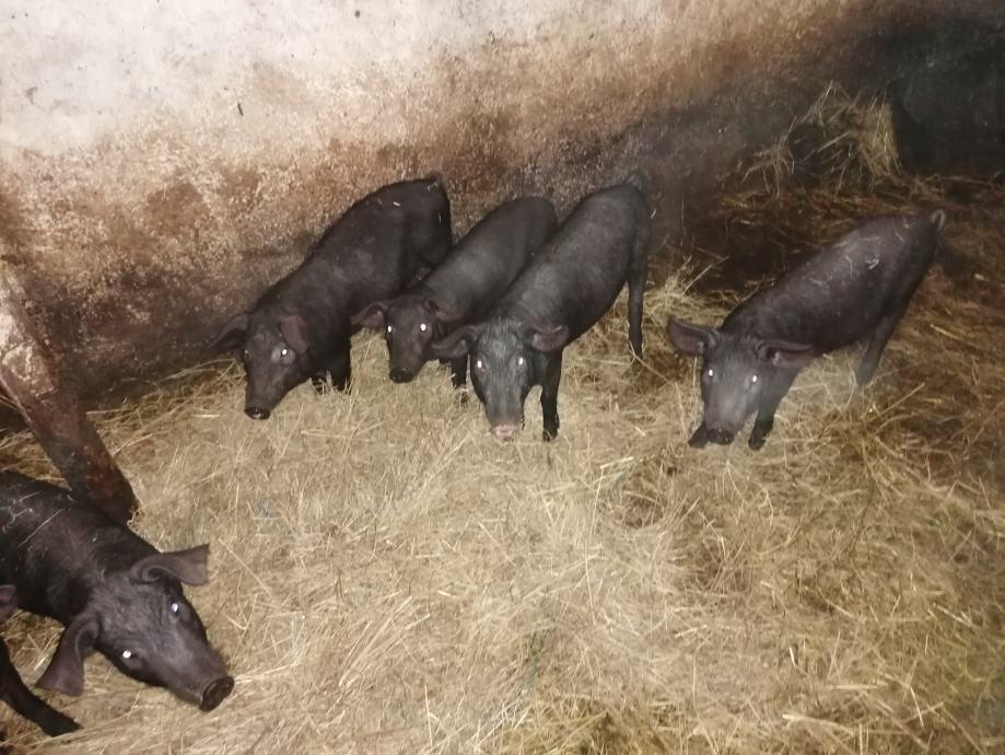 Odojci crne slavonske svinje