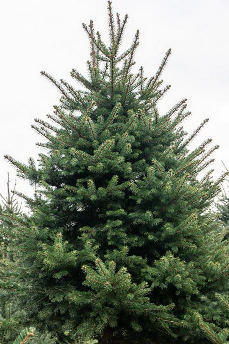 Božićna drvca (kraj Bjelovara)   srebrna smreka