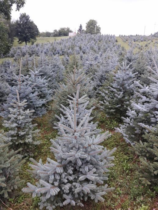 Božićna drvca - Plava i Srebrna smreka (Picea Pungens)