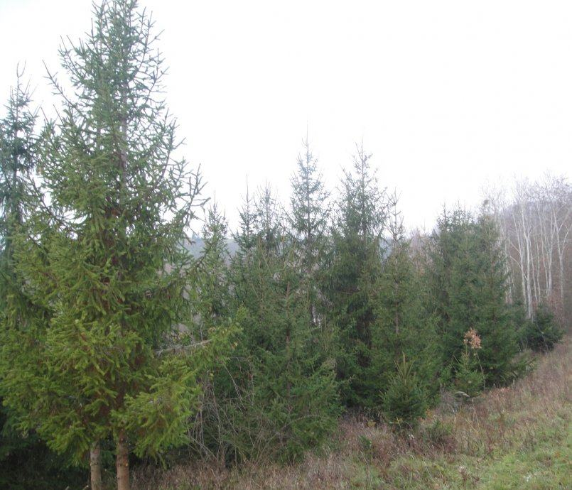 Božićni borovi, veliki, do 10 metara visine, SUPER POVOLJNO