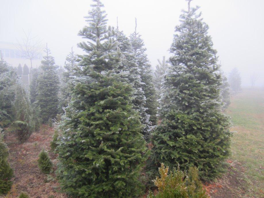 Nordijska jela Božićno drvce bor jelka srebrna plava Varaždin Abies