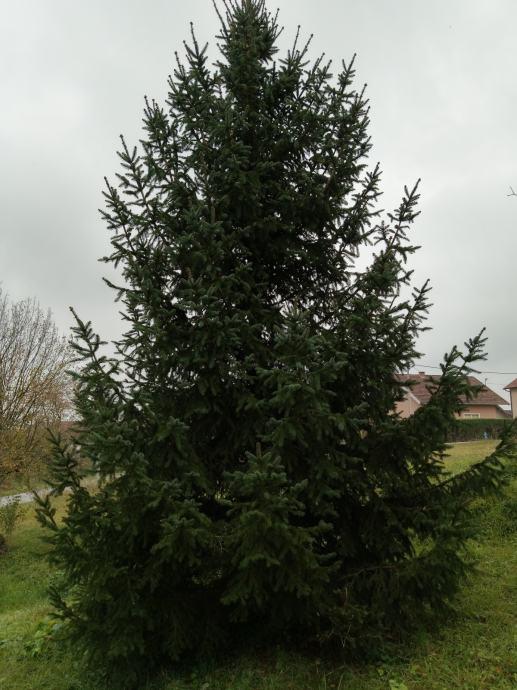 Bozicna jela, smreka, bozicno drvce 9m