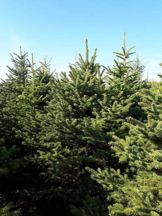 Božićna drvca, srebrna smreka(silver) i nordijske jele