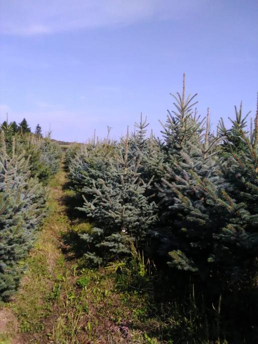 Prodajem božićna drvca-srebrna smreka