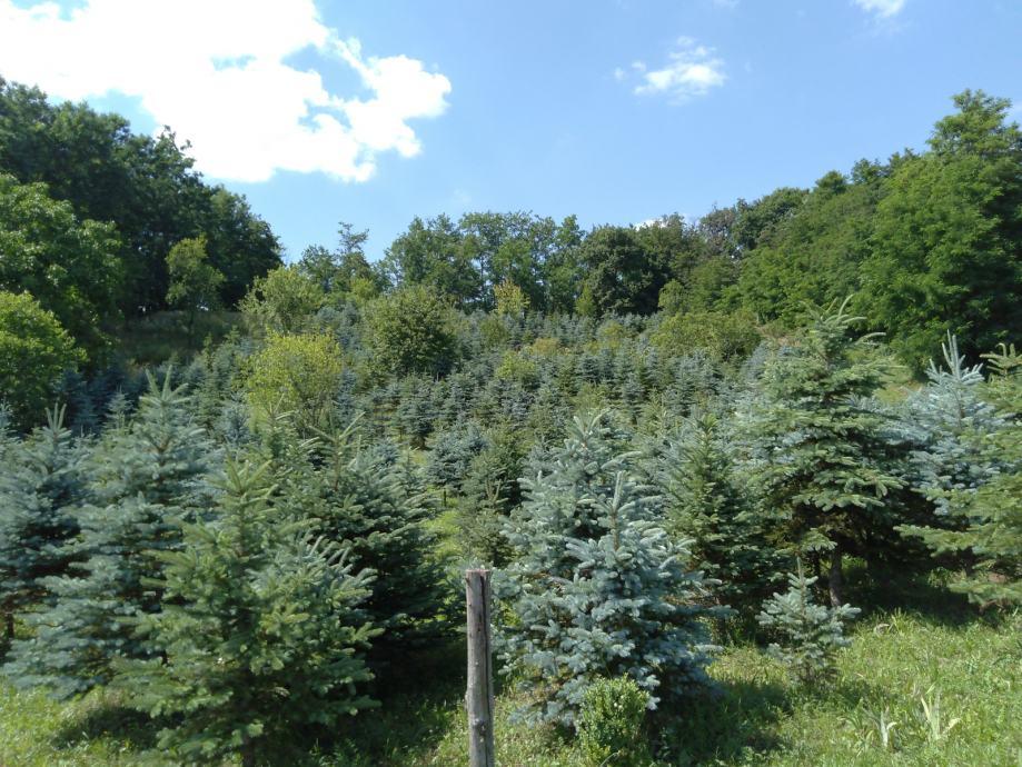 Božićna drvca srebrna smreka-rasprodaja zbog odlaska u inozemstvo