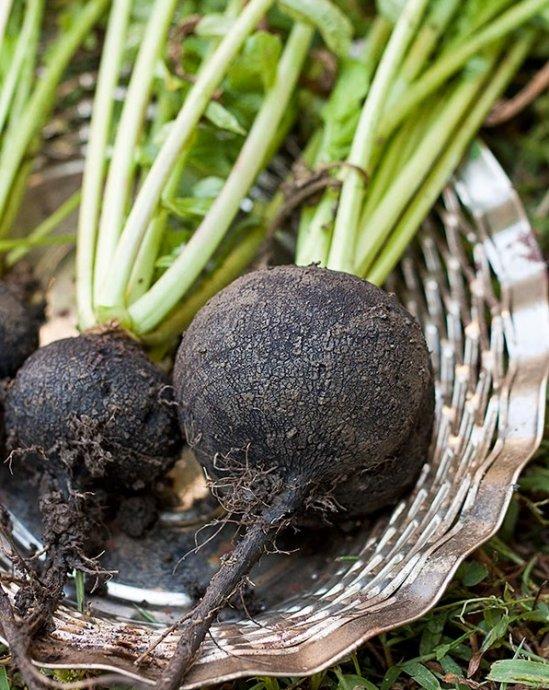 Crna rotkva, povrtnica (Bistra kraj Zg)