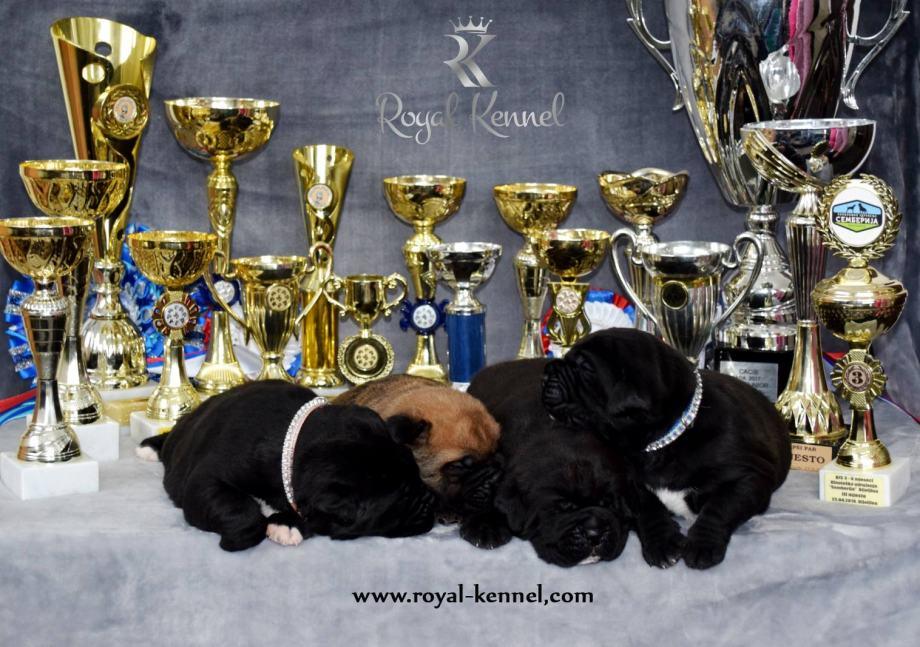 Cane Corso štenci šampionskog porijekla