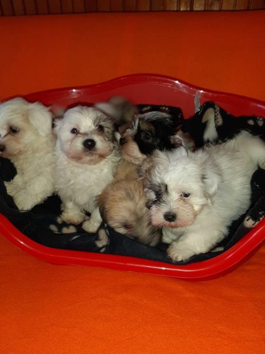 BICHON HAVANESE,havanezer,štenci