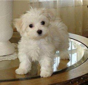 Mini maltezer štenci