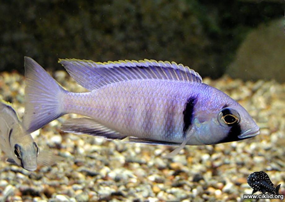 Placidochromis electra Deepwater Hap