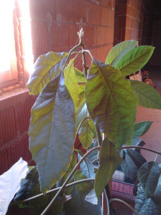 Avokado - stablo