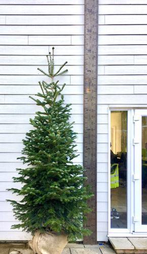 Nordijska jela u tegli Božićno drvce bor jelka srebrna plava Varaždin