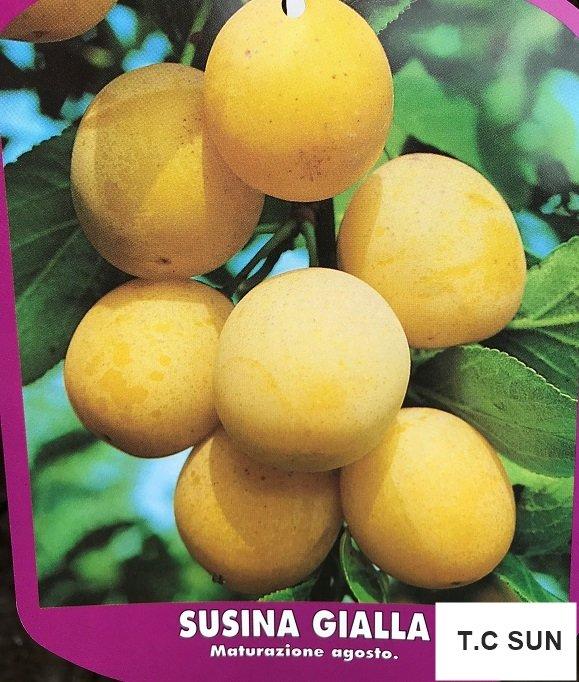 JAPANSKA ŠLJIVA - Prunus salicina - sadnice