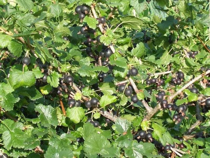 JOSTA - Ribes nidigrolaria - sadnice