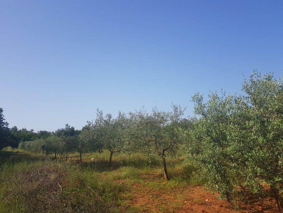 Masline - stabla Istra, Poreč, Kukci