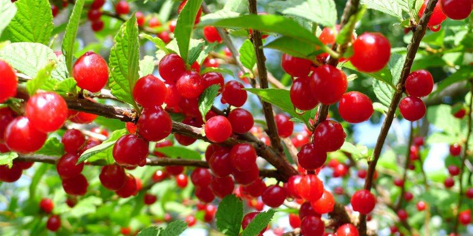 NOVO!! MONGOLSKA TREŠNJA (Prunus tomentosa)