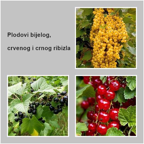 RIBIZ BIJELI, CRVENI I CRNI - Ribes rubrum L. - sadnice