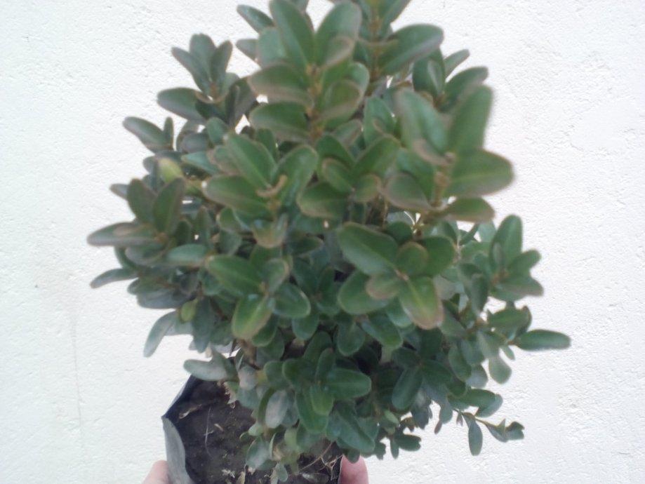 Šimšir,  Buxus sempervirens sadnice